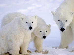 Polar Bears, Mother and Young, Manitoba, Canada by Daniel J. Cox
