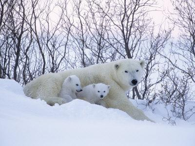 Polar Bears, Mother with Very Young Cubs Just Leaving Winter Den, Manitoba, Canada
