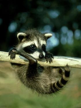 Raccoon, Portrait of Young Coon in Aspen Tree, UK by Daniel J. Cox
