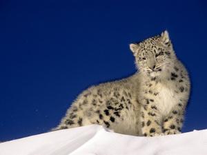 Snow Leopard 5-Month-Old Cub by Daniel J. Cox