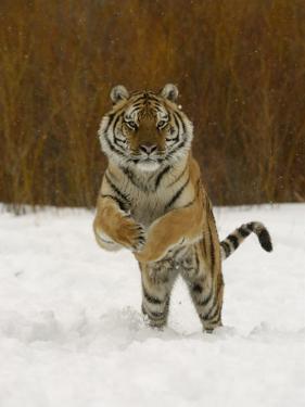 Tiger Adult Running Through Snow, Winter by Daniel J. Cox