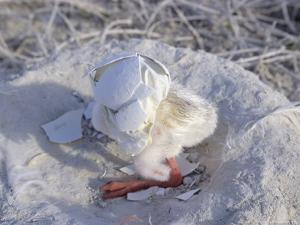 West Indian Flamingo, Chick with Egg Shell on Head, Bahamas by Daniel J. Cox