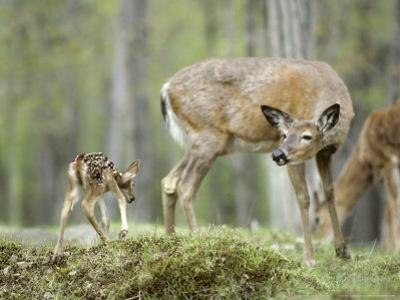 Whitetail Deer, Fawn Approaches Doe It Thinks is Its Mother