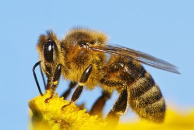 Detail Of Honeybee by Daniel Prudek