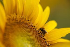 Italy, Friuli Venezia Giulia, Bee on a Sunflower by Daniele Pantanali