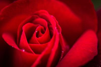 Close Up Macro Shot of a Wet Red Rose