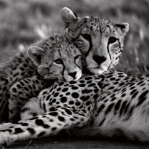 Cheetah with Cub by Danita Delimont