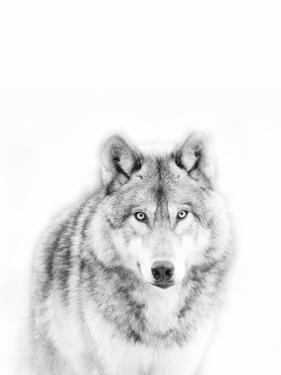Lone Alaskan Gray Wolf by Danita Delimont