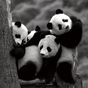 Pandas by Danita Delimont