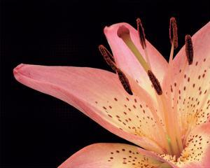 Lily Pink 2 by Danny Burk