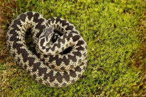 Adder (Vipera Berus) Coiled, Basking on Moss in the Spring Sunshine, Staffordshire, England, UK by Danny Green