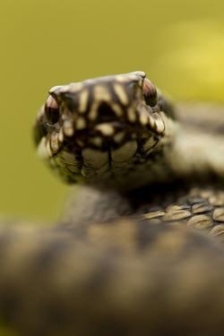 Adder (Vipera Berus) Portrait, Staffordshire, England, UK, April by Danny Green