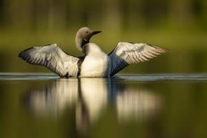 Black-Throated Diver (Gavia Arctica) Displaying, Finland, June by Danny Green