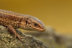 Common Lizard (Zootoca Vivipara) Basking in the Early Spring, Staffordshire, England, UK, April by Danny Green