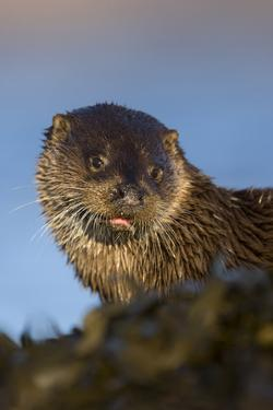 European River Otter (Lutra Lutra) Resting Amongst Seaweed, Isle of Mull, Inner Hebrides, Scotland by Danny Green