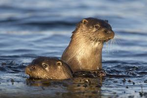European River Otters (Lutra Lutra) in Shallow Water, Isle of Mull, Inner Hebrides, Scotland by Danny Green