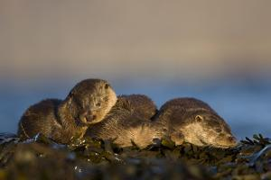 European River Otters (Lutra Lutra) Resting in Seaweed, Isle of Mull, Inner Hebrides, Scotland by Danny Green
