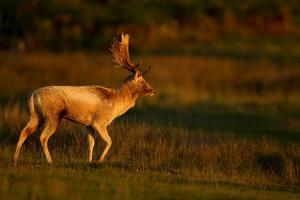 Fallow Deer (Dama Dama) Stag Walking at Dawn, Bradgate Park, Leicestershire, England, UK, October by Danny Green