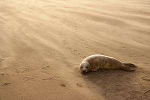 Grey Seal (Halichoerus Grypus) Pup Resting on Beach, Donna Nook, Lincolnshire, England, UK by Danny Green