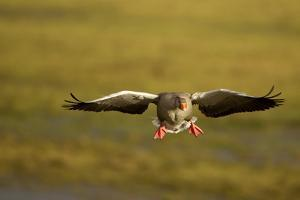 Greylag Goose (Anser Anser) in Flight, Caerlaverock Wwt, Scotland, Solway, UK, January by Danny Green