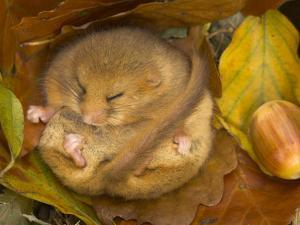 Hazel Dormouse (Muscardinus Avellanarius) Hibernating Amongst Leaves and Acorns by Danny Green