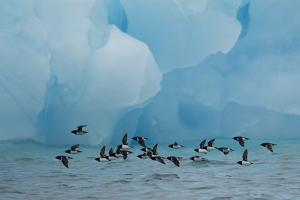 Little Auks (Alle Alle) Flying Low Above Surface in Front of Iceberg by Danny Green