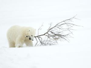 Polar Bear (Ursus Maritimus) Cub Playing with Branch,Churchill, Canada, November by Danny Green