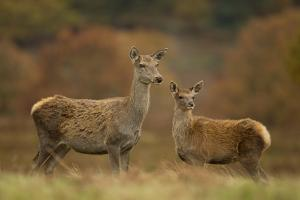 Red Deer (Cervus Elaphus) Hind and Young Calf, Bradgate Park, Leicestershire, England, UK, November by Danny Green