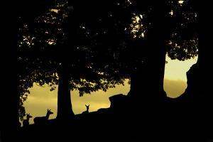 Red Deer (Cervus Elaphus) Silhouette of Hinds at Dusk in Woodland Glade at Dusk, Leicestershire, UK by Danny Green