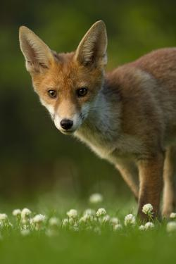 Red Fox (Vulpes Vulpes) Cub in Late Evening Light, Leicestershire, England, UK, July by Danny Green