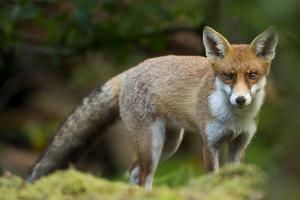 Red Fox (Vulpes Vulpes) Leicestershire, England, UK, September by Danny Green