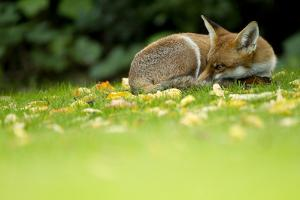 Red Fox (Vulpes Vulpes) Resting Amongst Autumn Leaves, Leicestershire, England, UK, September by Danny Green