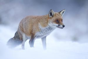 Red Fox (Vulpes Vulpes) Vixen in Snow, Cannock Chase, Staffordshire, England, UK, December by Danny Green