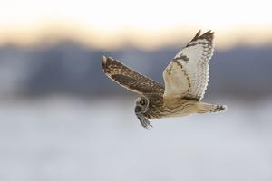 Short-Eared Owl (Asio Flammeus) Flying with Dead Vole Held in Beak, Worlaby Carr, Lincolnshire, UK by Danny Green