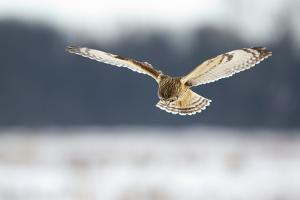 Short-Eared Owl (Asio Flammeus) in Flight, Hunting, Worlaby Carr, Lincolnshire, UK, December by Danny Green