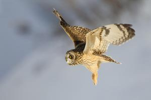 Short-Eared Owl (Asio Flammeus) in Flight. Worlaby Carr, Lincolnshire, England, UK, December by Danny Green