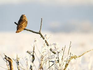 Short-Eared Owl (Asio Flammeus) Perched on a Branch, Worlaby Carr, Lincolnshire, England, UK by Danny Green