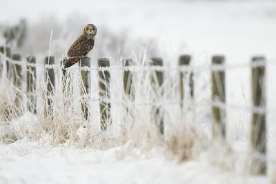 Short-Eared Owl (Asio Flammeus) Perched on a Fence Post, Worlaby Carr, Lincolnshire, England, UK
