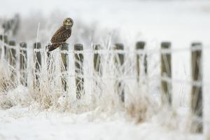 Short-Eared Owl (Asio Flammeus) Perched on a Fence Post, Worlaby Carr, Lincolnshire, England, UK by Danny Green