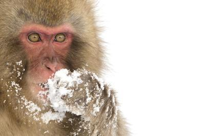 Snow Monkey (Macaca Fuscata) with Snow Covered Paw in Front of Mouth, Nagano, Japan, February