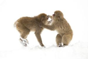 Snow Monkeys (Macaca Fuscata) Young Fighting in Snow, Nagano, Japan, February by Danny Green