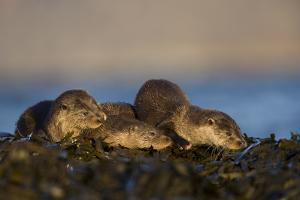 Three European River Otters (Lutra Lutra) Resting on Seaweed, Isle of Mull, Inner Hebrides, UK by Danny Green