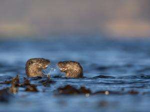 Two European River Otters (Lutra Lutra) Play Fighting in the Water, Isle of Mull,Scotland, UK by Danny Green