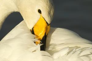 Whooper Swan (Cygnus Cygnus) Preening, Caerlaverock Wwt, Scotland, Solway, UK, January by Danny Green
