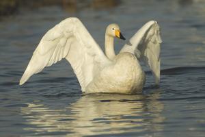 Whooper Swan (Cygnus Cygnus) Stretching its Wings. Caerlaverock Wwt, Scotland, Solway, UK, January by Danny Green