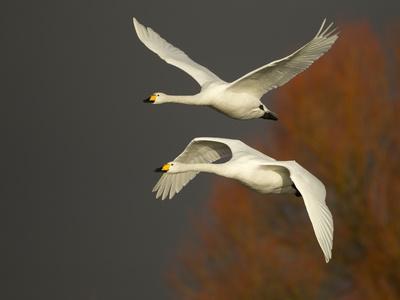 Whooper Swans (Cygnus Cygnus) in Flight, Caerlaverock Wwt, Scotland, Solway, UK, January