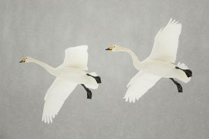 Whooper Swans (Cygnus Cygnus) Two In Flight, During Snowfall, Lake Kussharo, Japan, February by Danny Green