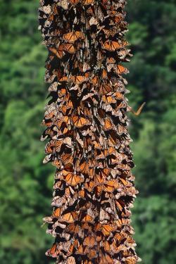 Monarch Butterflies by Danny Lehman