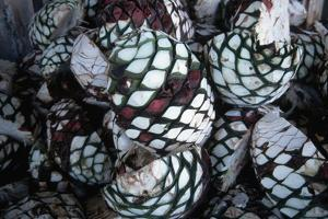 Pile of Tequila Agave Bulbs by Danny Lehman