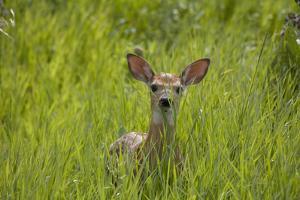 White-tailed Deer (Odocoileus virginianus) fawn, standing in long grass, North Dakota, USA july by Daphne Kinzler